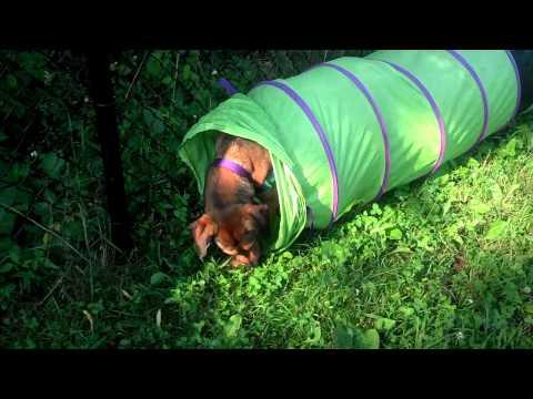 Lena, an adopted Labrador Retriever & German Shepherd Dog Mix in Scituate, MA