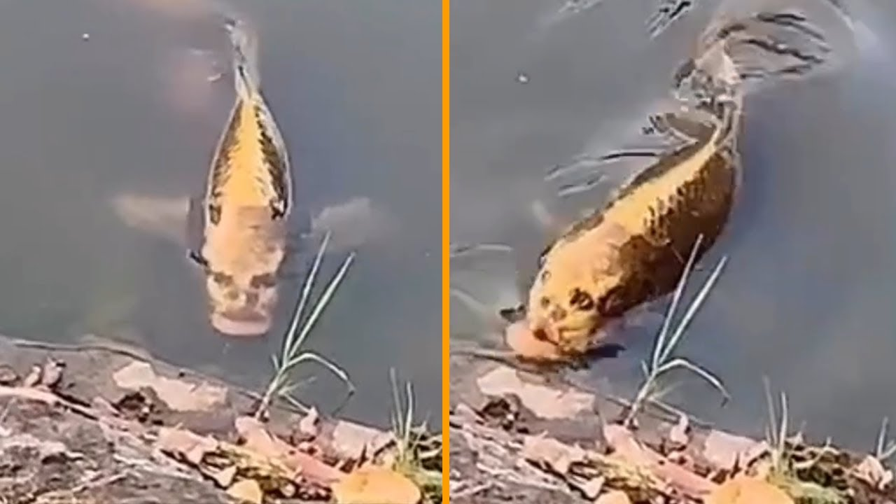 Fish has a HUMAN FACE! (This footage is REAL!)
