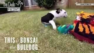 Bonsai - Half A Bulldog, Twice The Love