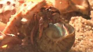 preview picture of video 'krab poustevník mění ulitu (hermit crab shell change)'