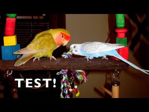 Test: Elige juguetes para tus periquitos y agapornis