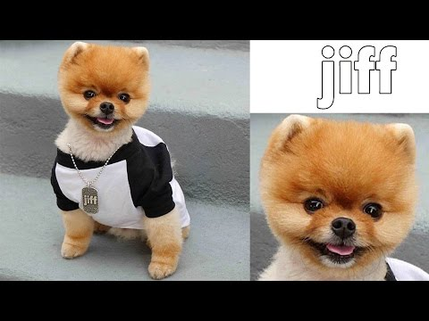 Jiff The Dog ► Lovely Jiff Doing Funny Thing 2016 | Cute Dog 2016 | New Funny #054