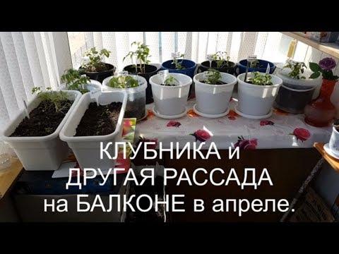 ГРЯДКА НА БАЛКОНЕ.КЛУБНИКА и ДРУГАЯ РАССАДА  (апрель).