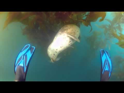 Seehund, Catalina Island,Kalifornien,USA