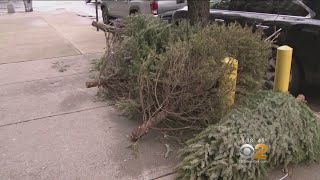 Christmas Tree Collection Begins In New York City