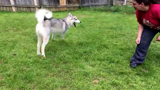 Ghost the husky is ready for a forever home
