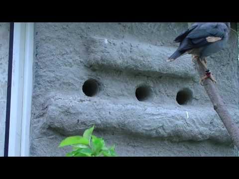 Video Cara Ternak / Budidaya Jalak Nias - Sarang