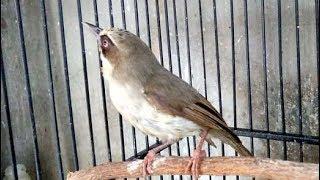 Burung Opior Jawa Gacor Buat Masteran