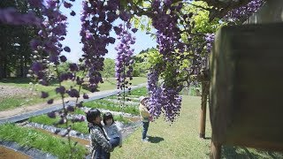 薄紫色のフジ、見頃秋田市金足の県立小泉潟公園