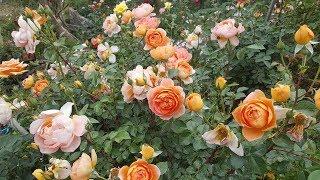 Tour Por Mis Rosas Inglesas De David Austin -  English Rose Collection - Rosiers - Rosas - роз