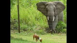 preview picture of video 'Basenji and the love of his life, Jane the Elephant'