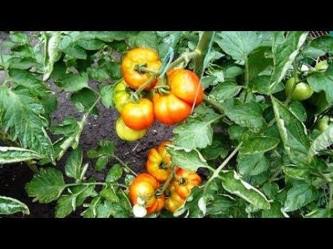 мои томаты в конце июля
