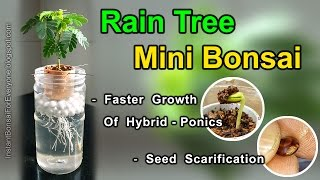 Mini Bonsai From Rain Tree Seedlings & Seed Scarification (Albizia Saman / Monkey Pod Tree)
