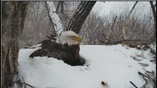 Decorah Eagles~N2B-It's Snowing Again! Mom Tries to Keep D's Covered-Time Lapse_4.18.18