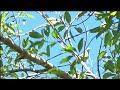 BERBURU PUNAI/WALIK #hunting #greenpigeon #punai