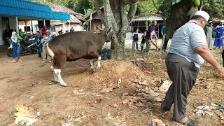 Video Cara cepat menjatuhkan sapi korban dalam 3 menit. MP3, 3GP, MP4, WEBM, AVI, FLV Agustus 2019