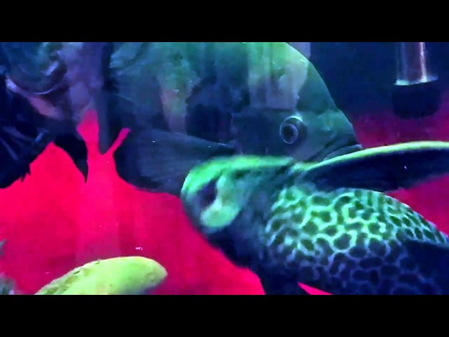 A Bad Lip Reading...Tropical Fish Style - Episode 2