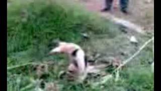 preview picture of video 'oso hormiguero atrapado en huatusco'