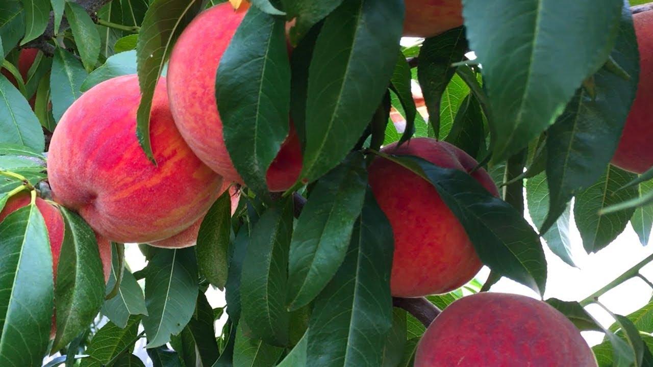 Супер урожай персика ПОСОЛ МИРА 2018