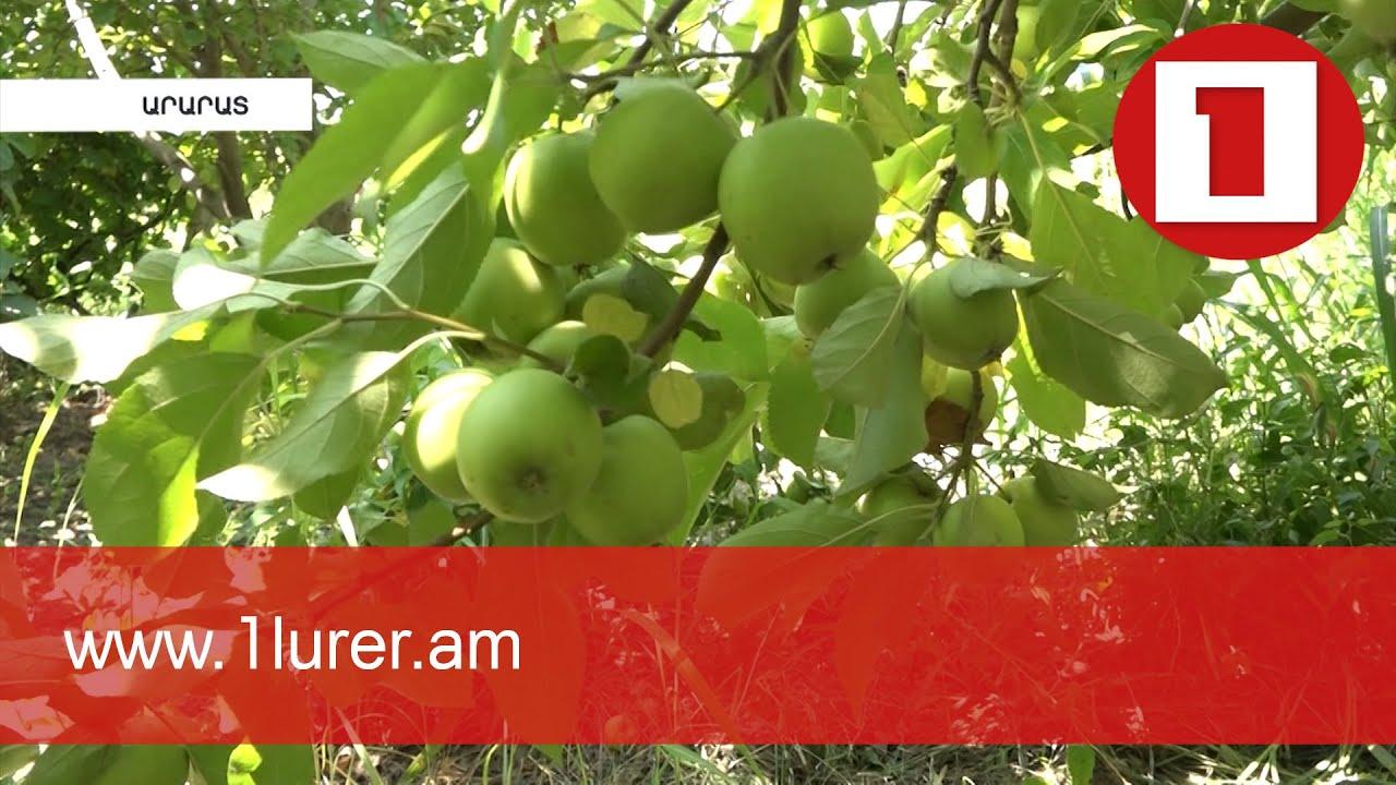 Արարատի Նորաշենում խնձորի առատ բերք է սպասվում