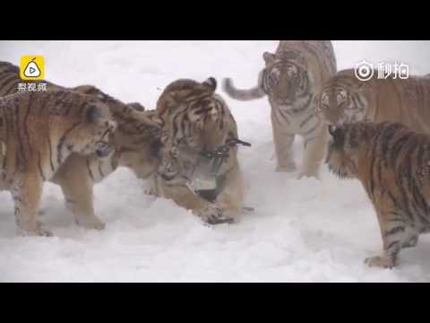 Siberian tigers chase drone through the snow, catch it and play with it