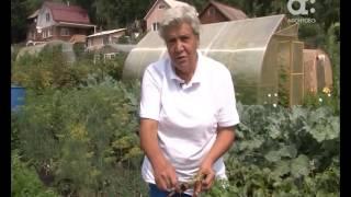 Голова садовая. Уход за морковью в августе