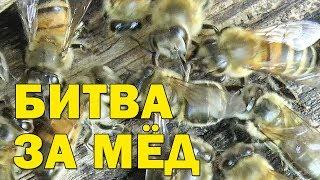 Битва за мёд. Пчелы дерутся за свой мёд. Драка пчел