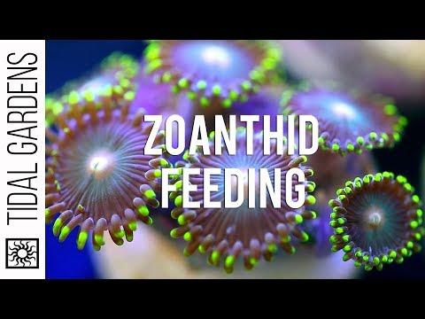 Zoanthid Polyp Feeding