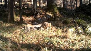 European wildcats covering roe deer carcasses in Dinaric Mountains, Slovenia