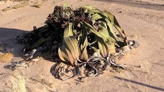 Welwitschia mirabilis - Ancient  living fossil plant of the Namib Desert