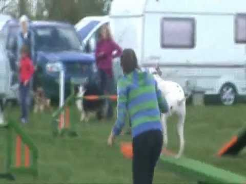 Best Bits of a Crazy Dalmatian at his First Open KC Show