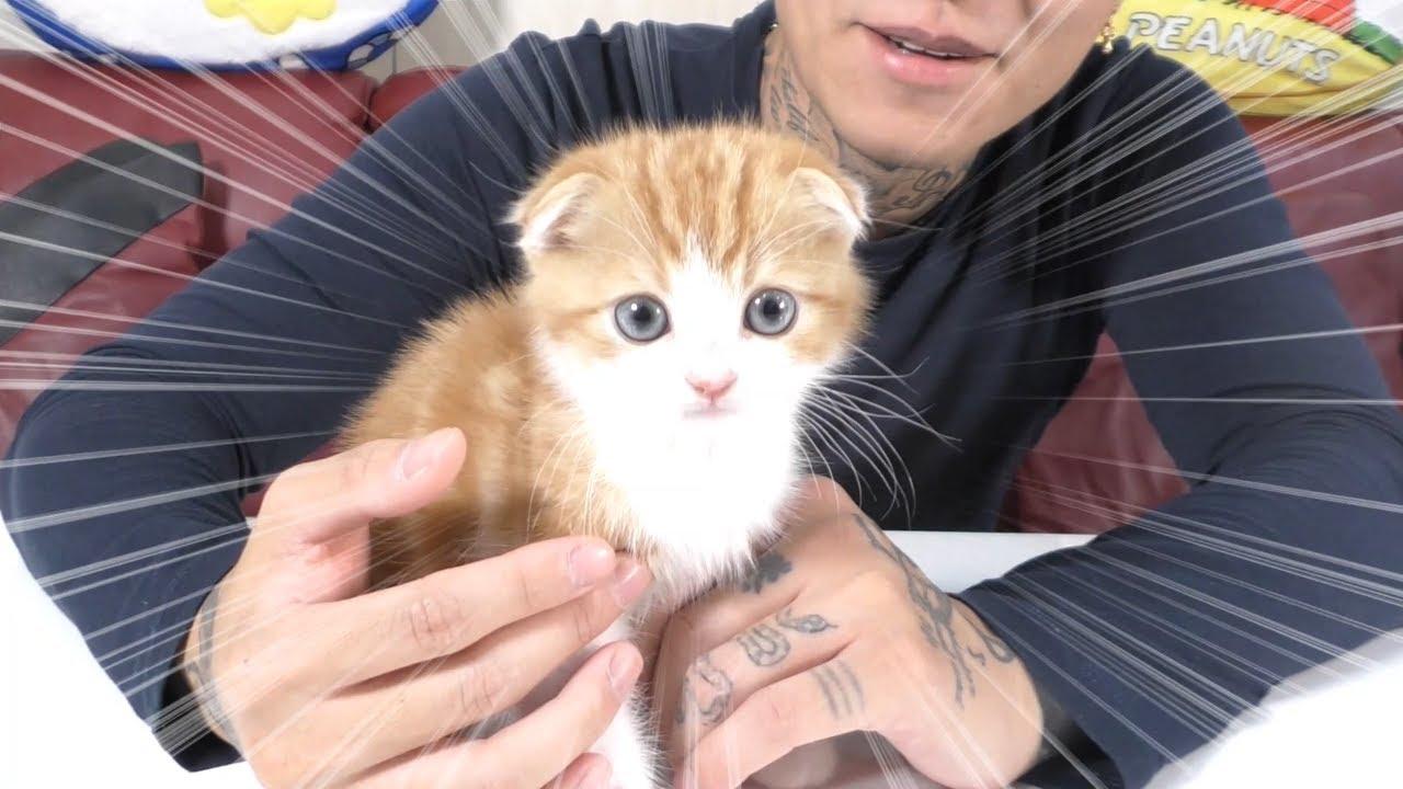 「※激カワ」新しい家族が増えました☆スコティッシュフォールド(子猫)ネコ