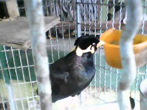 นกขุนทองพูดเก่ง
