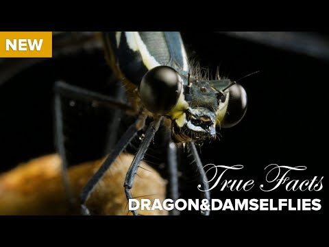 True Facts : Carnivorous Dragonflies