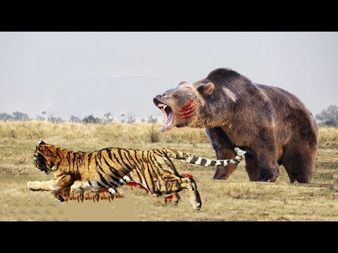 Tiger and sloth Bear fight, Tiger hungting Bear to Fail, The bear is too strong