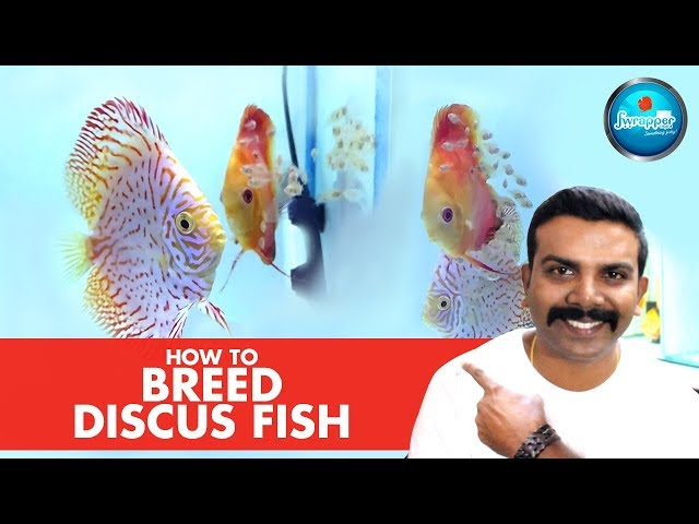 HOW TO : Breed Discus Fish || Successfully at Home || Discus Fry