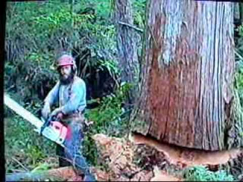 Timber Falling Oregon Coast Range Fir - Naijafy