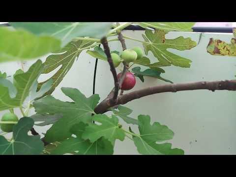 Ngắm trái Sung Mỹ chín sau 9 tháng vào chậu tại Vườn sạch 7kg