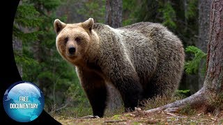 The Baltic Forest: A Home for many Brown Bears