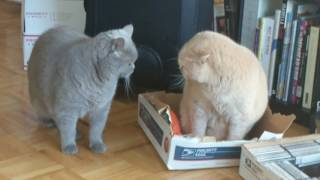 British Shorthair Battle of the Box Deathmatch 2017