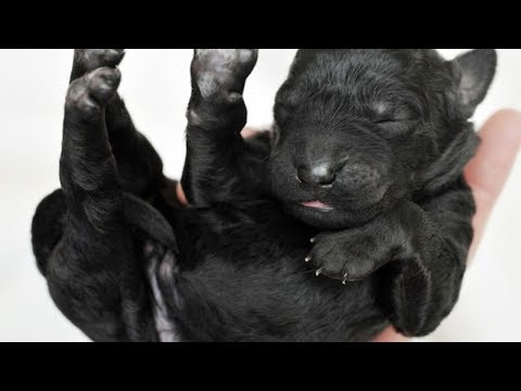 Black Lab Stuns Owners After Giving Birth To A Highly Unusual Litter