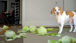 Dog Surprised by Cabbages: Funny Dog Maymo