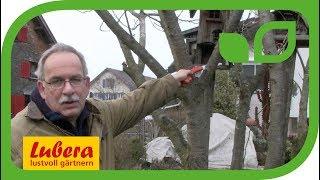 jungen feigenbaum schneiden