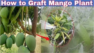 How To Graft Mango Tree In Hindi Step By Step Discussion.