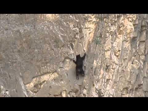 進擊的攀岩黑熊