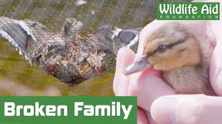 Mallard family left torn in two after CRASH LANDING!