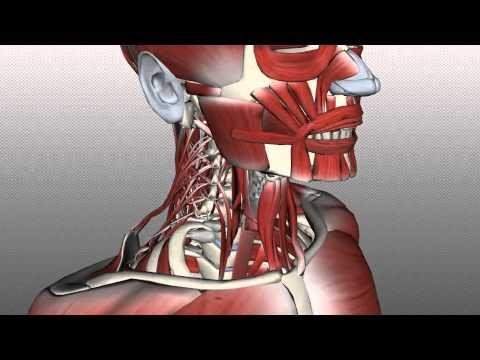 La réduction involontaire des muscles dans la nuit