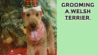 Grooming a Welsh Terrier- TUTORIAL