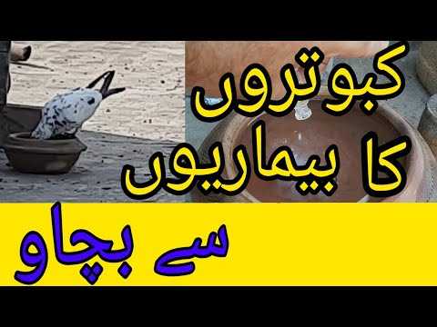 , title : 'pigeon's vaccination|pigeons care||pigeons care from diseases|birds vaccination||