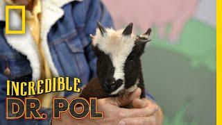 We've Got Springing Sheep! - Season 2, Episode 5 | Barnyard Babies with Dr. Pol